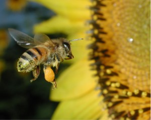 Disappearing Honeybees