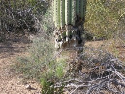 Damaged Saguaro Cactus