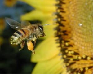 Disappearing Honeybees