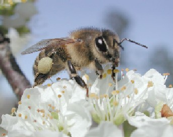 Disappearing Honeybees_1
