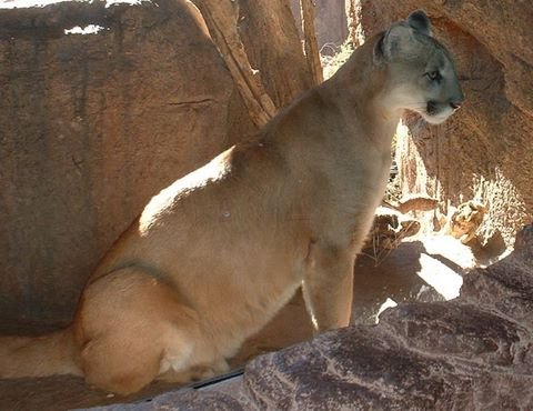 Arizona Mountain Lions