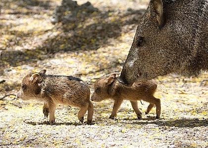 Arizona Javelina Babies