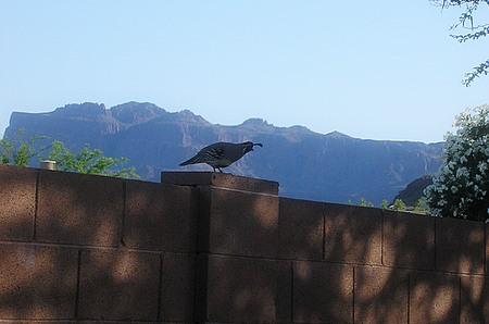 Arizona Quail