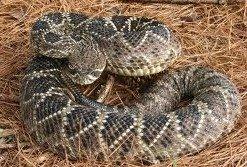 Arizona Rattlesnakes